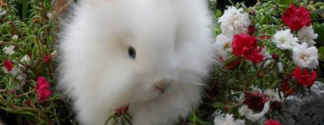 Know about Main Qualities of Lionhead Rabbits