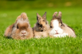 Importance of Dwarf Dutch Rabbit for Netherland