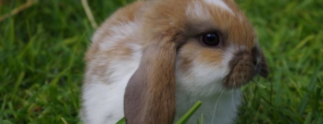 Rule on buying dwarf rabbits as pets