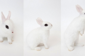 Getting to know dwarf hotot rabbit