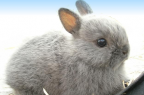 Seeking the netherland dwarf rabbit breeders