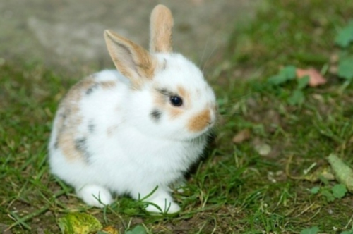 Teacup Bunnies For Sale For dwarf rabbits for sale