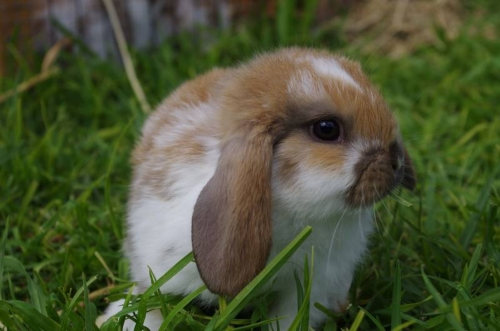 dwarf rabbit as pet