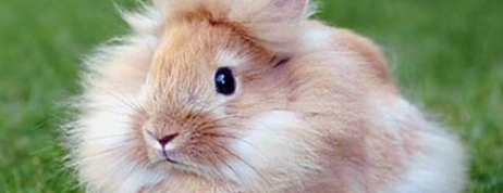 Dwarf LionHead Rabbit – A New Breed of Dwarf Rabbits