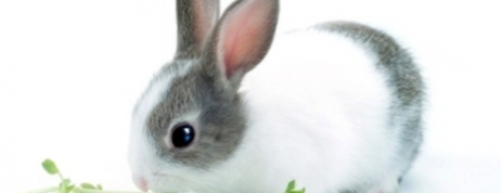 Dutch Dwarf Rabbit – A Popular Breed of Rabbits