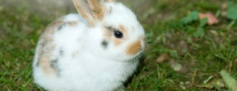 Cute dwarf rabbits for sale