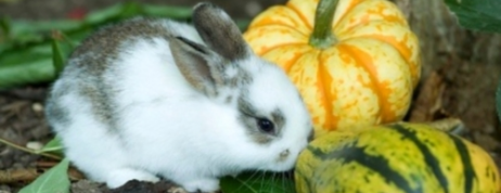 Dwarf Lionhead Rabbit for Sale – Buy your Favourite Pets