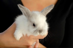 Know about Popular Breeds of Dutch Rabbits