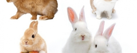 Know about Various Dwarf Rabbit Breeds