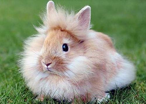dwarf lionhead rabbit a new breed of dwarf rabbits
